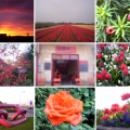 collage-rood