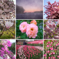 collage-roze